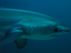 thresher shark Акула лисица 1