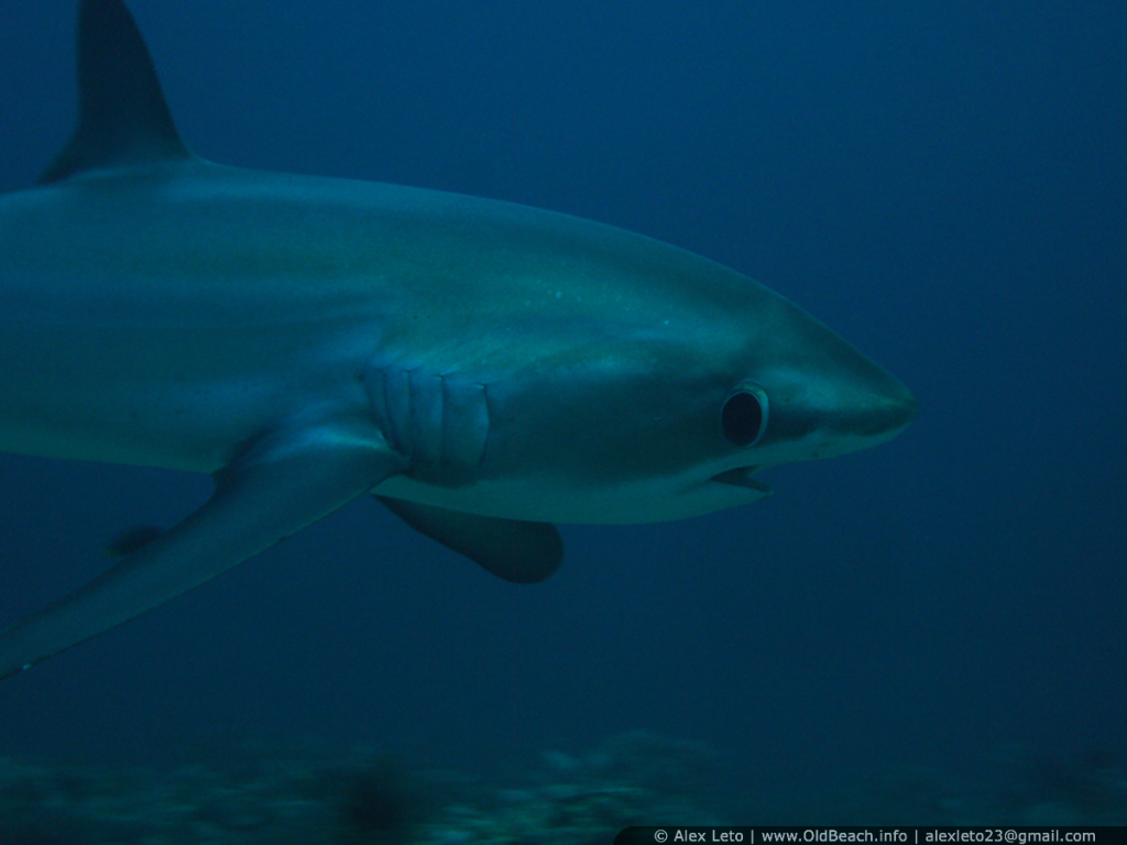 Malapascua. Thresher shark